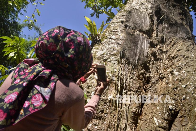 Seorang pengunjung mengambil gambar kuburan bayi yang diletakkan di pohon di Passilliran, Tana Toraja, Sulawesi Selatan, Selasa (26/12).