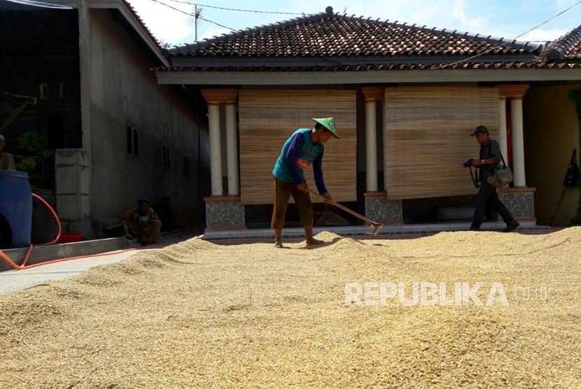 Seorang petani di Desa Cempeh, Kecamatan Lelea, Kabupaten Indramayu sedang menjemur gabah yang baru dipanennya, Rabu (4/4). Panasnya cuaca memudahkan mereka menjemur gabah sehingga berani menjual dengan harga lebih tinggi.