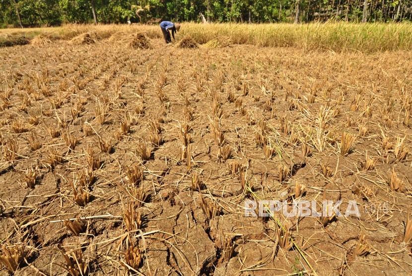 Seorang petani, Dusun Gendurit, Desa Kawengen, Kecamatan Ungaran Timur, Kabupaten Semarang memanen padi belum cukup umur di lahan perswahan yang merekah, akibat kekeringan, Senin (17/6). Petani di dusun ini melakukan 'panen terpaksa' untuk menghindari kerugian lebih besar akibat dampak musim kemarau.