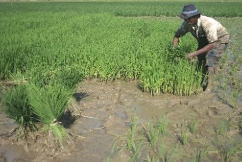 Seorang petani memanen benih padi di lahan persawahan Desa Pekandangan, Indramayu, Jawa Barat.