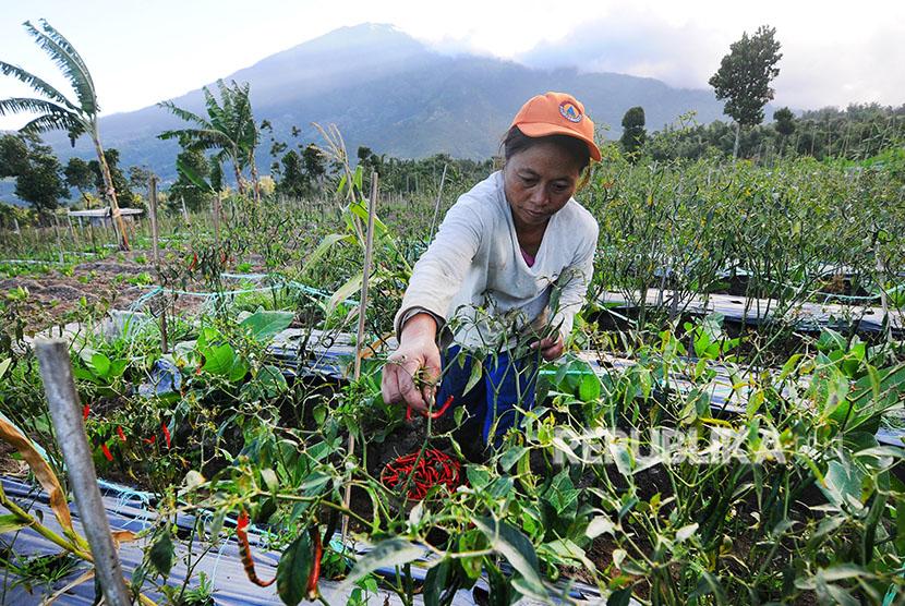 Seorang petani memanen cabai di lahan pertanian lereng Gunung Merapi, Stabelan, Tlogolele, Selo, Boyolali, Jawa Tengah, Selasa (22/5).