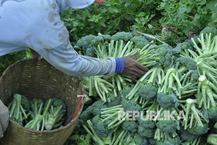 Seorang petani memilih sayuran yang akan dikirim ke pasar di perkebunan sayur brokoli. (Mahmud Muhyidin)