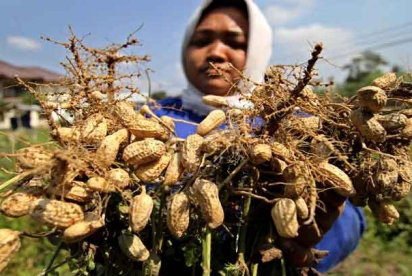 Seorang petani menunjukkan kacang tanah yang dipanennya di kawasan Banguntapan, Bantul, Yogyakarta.