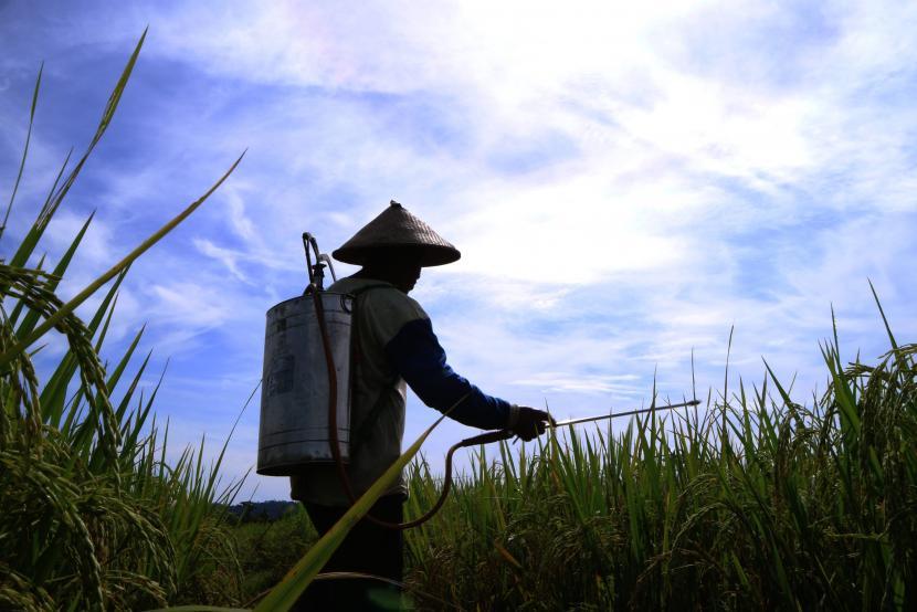 Seorang petani menyemprot obat ke tanaman padi miliknya di Kampung Bumi Raya, Nabire, Papua.