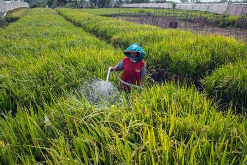 Bantul Target Tanam Padi 11 Ribu Hektare pada November