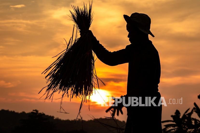 Seorang petani menyortir hasil panen padi. Pemerintah Kabupaten Bangka Tengah, Provinsi Kepulauan Bangka Belitung, memperkuat peran penyuluh lapangan, untuk meningkatkan produksi pertanian.