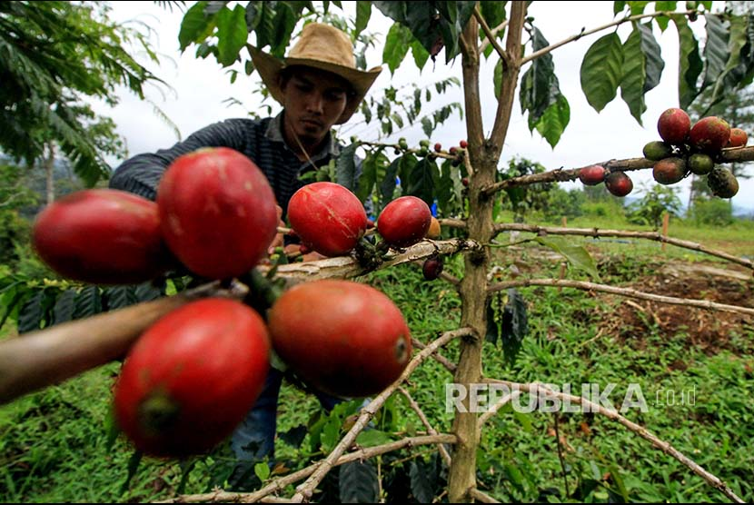 Seorang petani merawat biji kopi arabika di kawasan perkebunan kopi peremajaan Desa Jabal Antara, Nisam Antara, Aceh Utara, Aceh, Senin (16/4). Menjelang masa panen serentak permintaan kopi gayo  kualitas unggulan jenis arabika dan luwak  meningkat dengan harga di tingkat penampung sebesar Rp150.000-Rp200.000 per kg