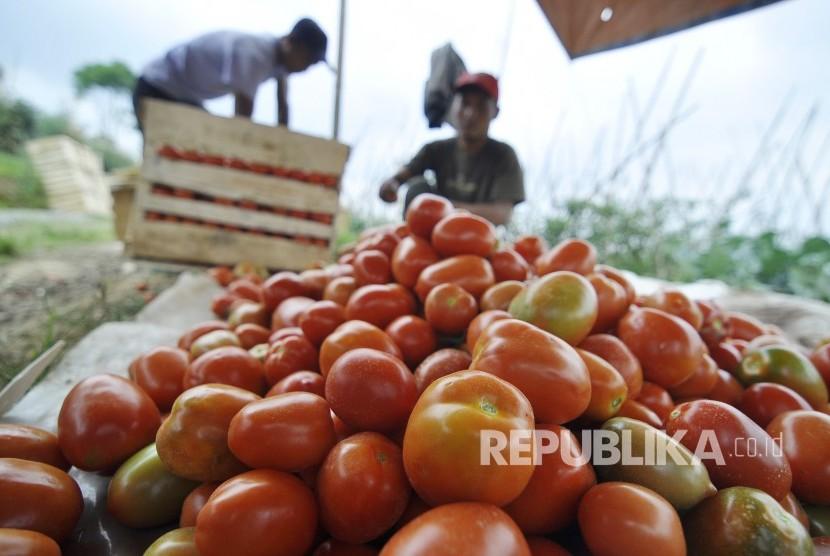 Seorang petani sayuran memilah tomat usai panen, di Desa Suntenjaya, Kecamatan Lembang, Kabupaten Bandung Barat, Rabu (24/8). (Mahmud Muhyidin)
