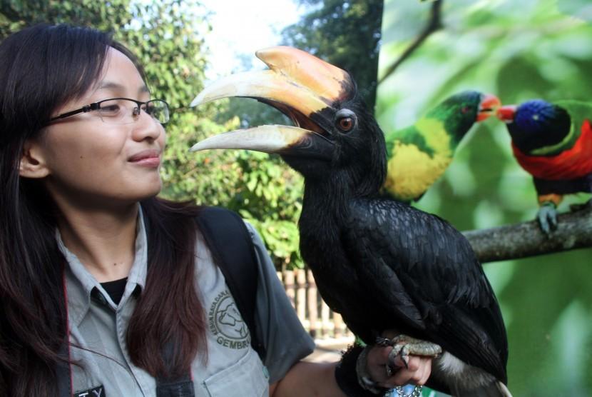Seorang petugas wanita memegang burung Rangkok Badak (Buceros rhinoceros) di Gembira Loka Zoo, Yogyakarta.