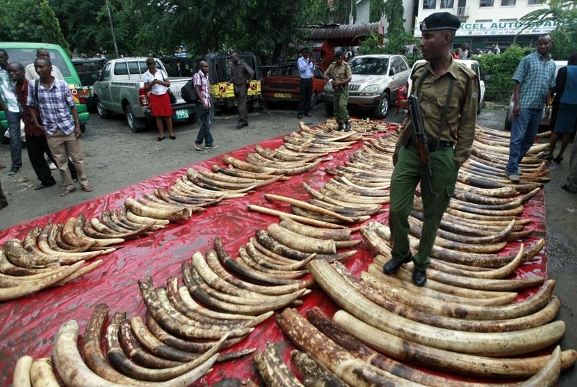 Seorang polisi berdiri di deretan gading gajah yang disita dari perburuan gelap. (ilustrasi)