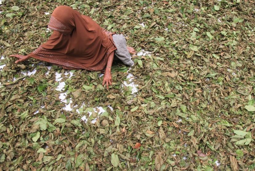 Warga menjemur daun pureng atau daun kratom (Mitragyna speciosa).