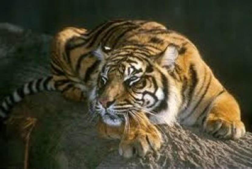 Sumatran tiger or Panthera tigris sumatrae is a critically endangered species (photo file).