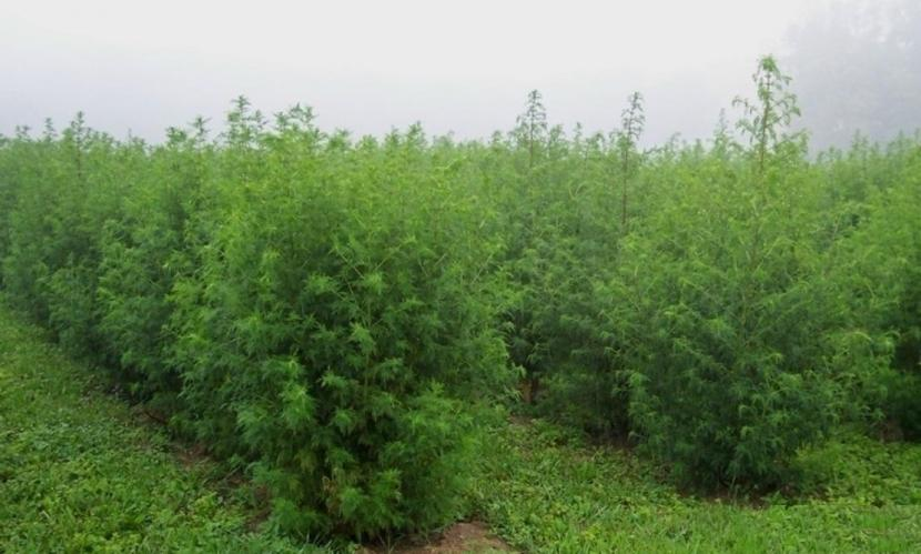 Tanaman Artemisia annua disebut sebagai salah satu herbal yang berpotensi mengobati virus corona jenis baru.