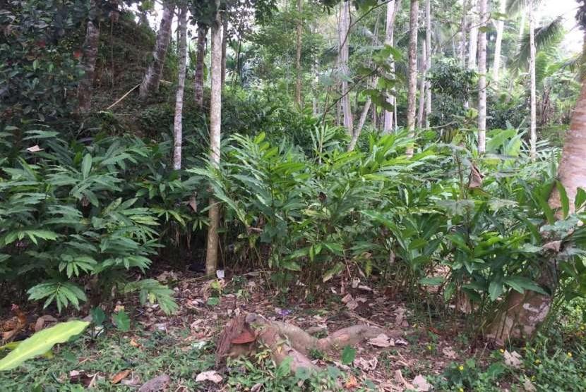 Tanaman kapulaga (zingiberaceae) dikembangkan di Kabupaten Garut, Jawa Barat.