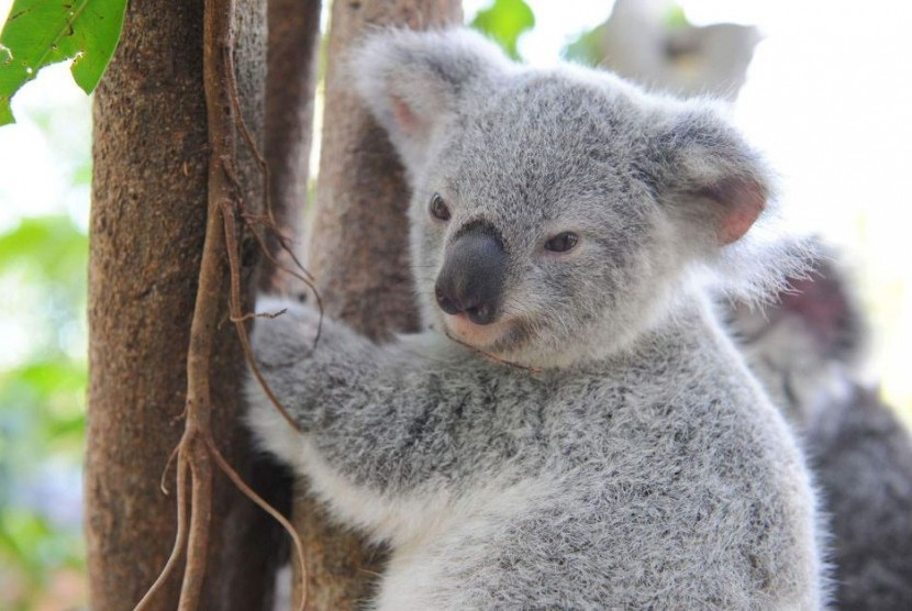 Tidak dipungkiri lagi kalau populasi koala di Tenggara Queensland terus menurun.
