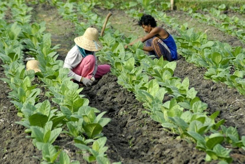 Tobacco farmers in Pamekasan, Madura (illustration)