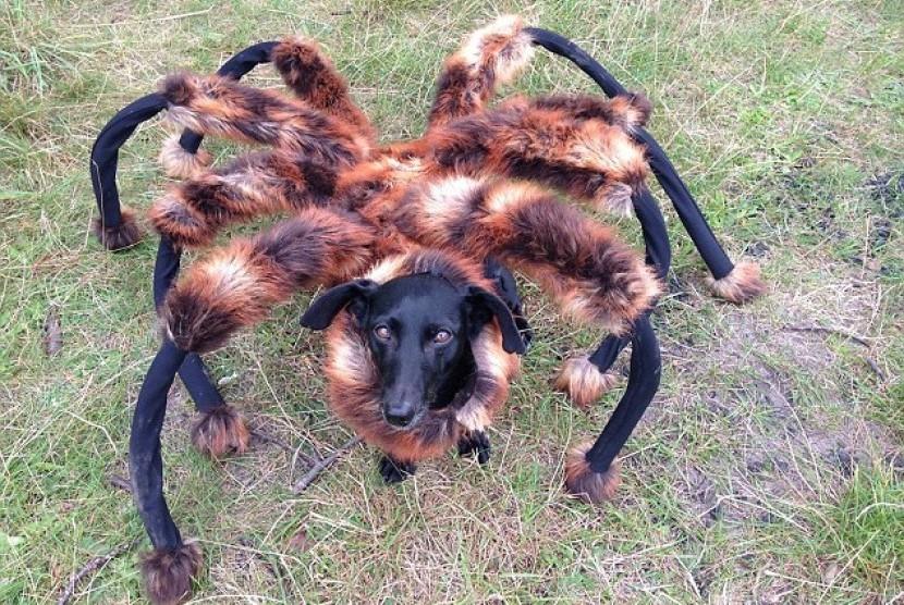 Video laba-laba raksasa berkepala anjing