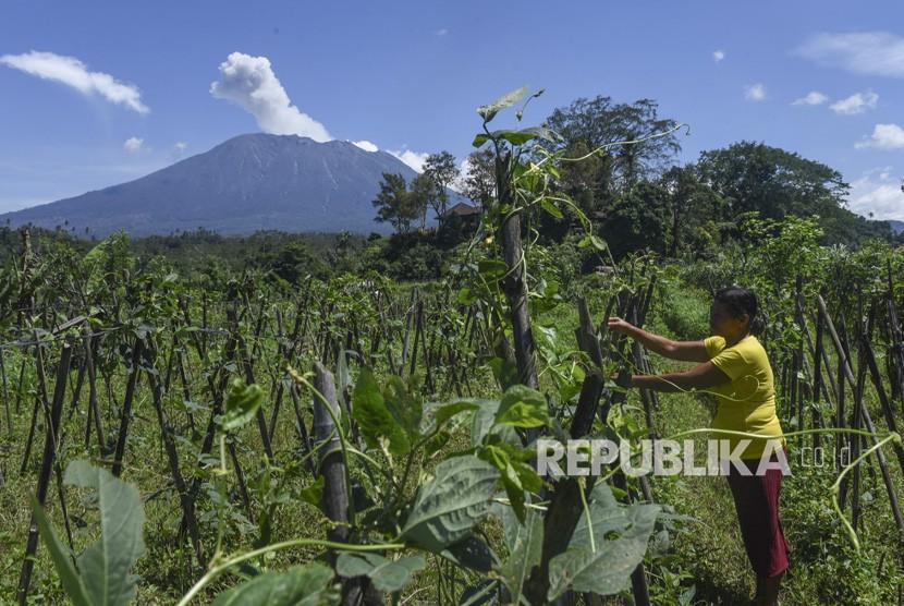 Warga berkebun dengan latar belakang Gunung Agung menyemburkan asap bercampur abu vulkanis, di Sidemen, Karangasem, Bali, Jumat (8/12).