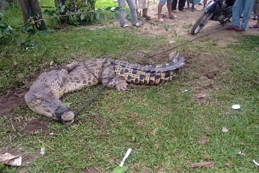 Warga di Jorong Durian Kapeh, Nagari Durian Kapeh Darussalam, Kecamatan Tanjung Mutiara Kabupaten Agam mengamankan seekor buaya yang hendak memangsa ternak warga, Rabu (15/5) malam WIB