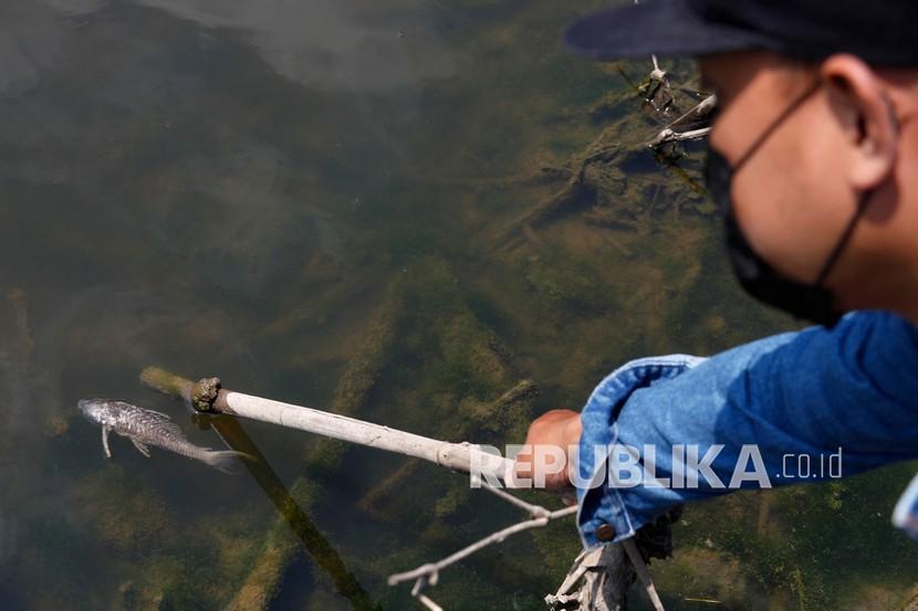 Warga menunjukkan bangkai ikan di Sungai Bengawan Solo yang tercemar limbah alkohol