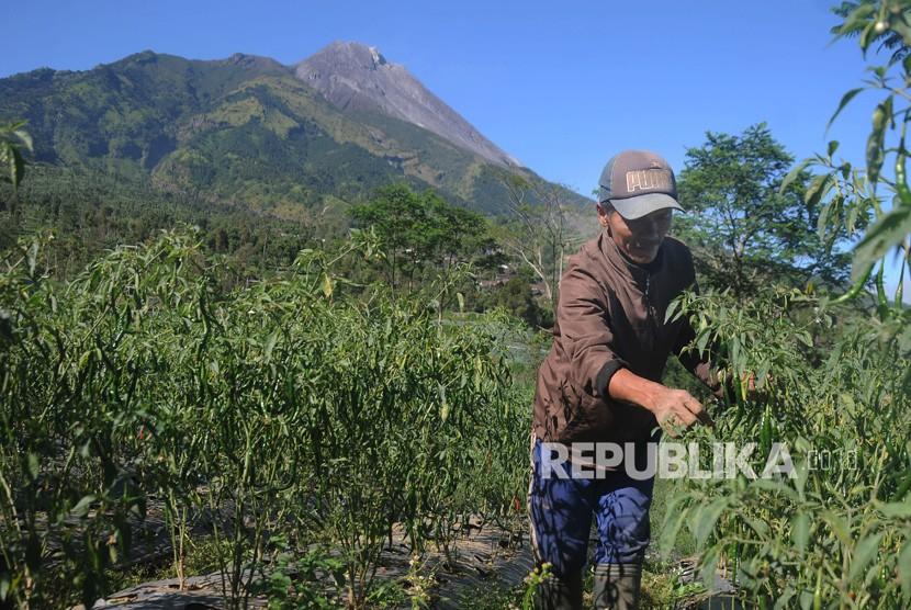 Warga merawat tanaman cabai dengan berlatar belakang Gunung Merapi di kawasan Selo, Boyolali, Jawa Tengah, Kamis (13/6/2019).