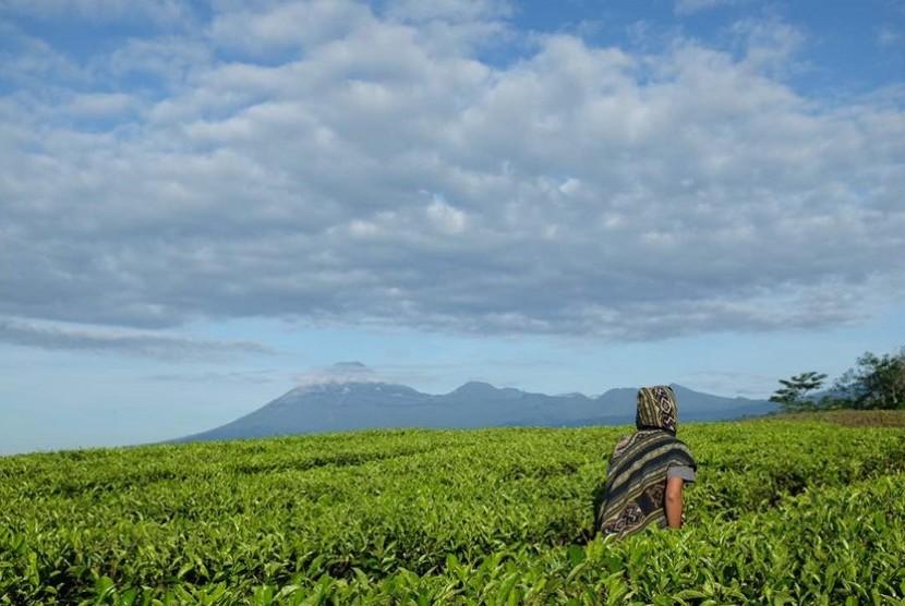 Wisatawan di tengah kebun teh dengan latar Gunung Lemongan, Argopuro dan Raung