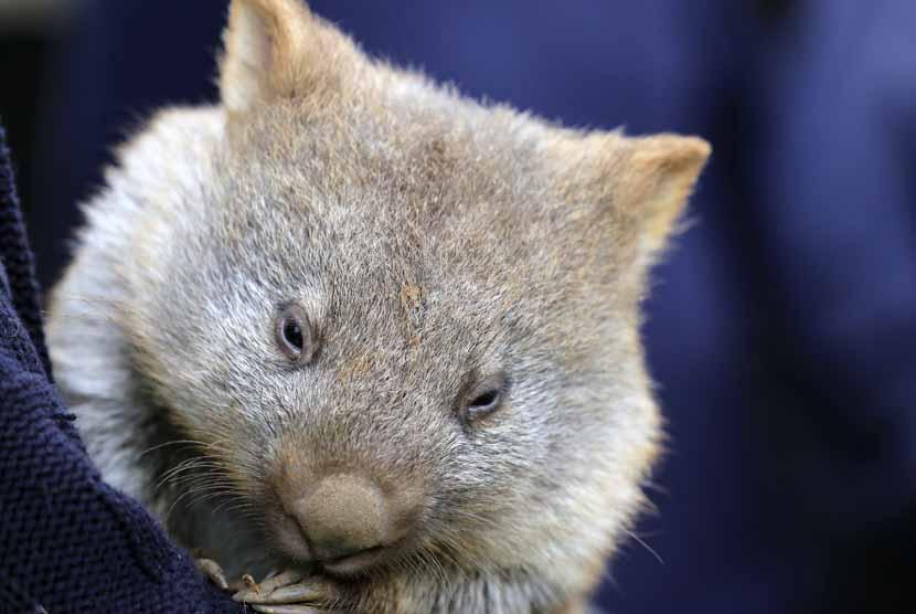 Wombat (ilustrasi)