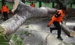 Pohon Tumbang Sebabkan Pengendara Motor Tewas di Sragen