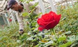 Dampak Covid-19, Petani Bunga Sukabumi Alami Kerugian Besar