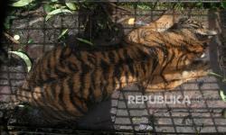 Padang Pariaman, Koridor Harimau Sumatera