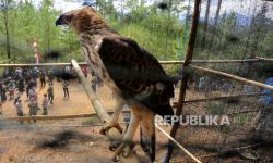 In Picture: Pelepasliaran Burung Elang di Aceh Tengah