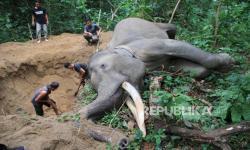 Ketika Gajah tak Lagi Betah di Hutan Aceh