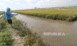 Banjir Hilang, Hama Mulai Serang Padi