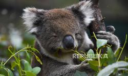 Australia Anggarkan Dana Perlindungan Koala Rp 187 Miliar