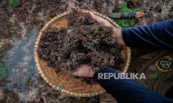 KKP: Rumput Laut Bisa Atasi Persoalan Limbah Plastik