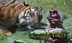 KLHK Ungkap Sebab Sulitnya Konservasi Harimau Sumatera