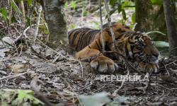 Anak Harimau Kena Jerat di Aceh Dirawat Intensif
