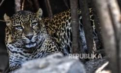 Macan Tutul Jawa Terekam Kamera Jebak di Sanggabuana