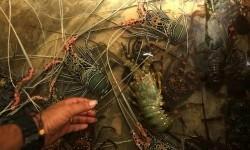 BC Soekarno Hatta Gagalkan Ekspor Lobster Ilegal ke Vietnam