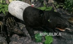 Taman Rimba Jambi Menunggu Kelahiran Seekor Anak Tapir
