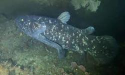 Fakta Aneh Ikan Coelacanth, Usianya Bisa Sampai100 Tahun