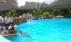 Koleksi Lumba-lumba Taman Safari Prigen Bertambah
