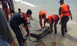 KKP Kuburkan Lumba-Lumba Terdampar di Natuna