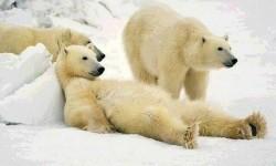 Ilmuwan Prediksi Beruang Kutub Bisa Punah Akhir Abad Ini