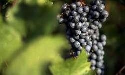 Teh Hijau, Anggur, dan Cokelat Hitam Dapat Cegah Covid-19?