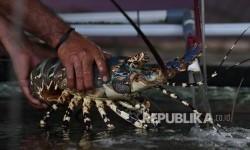 KKP akan Beri Pinjaman Lunak ke Nelayan Pembudi Daya Lobster