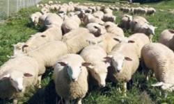Jelang Idul Adha, Harga Daging Domba di Irlandia Naik