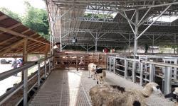 Penyembelihan Hewan Kurban di Zona Merah Sebaiknya di RPH