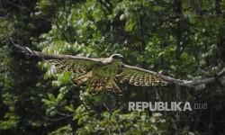 KLHK Lepasliarkan Dua Elang Dilindungi ke Gn Halimun Salak