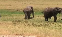 Kawanan Gajah Liar Digiring Masuk Hutan TNBBS